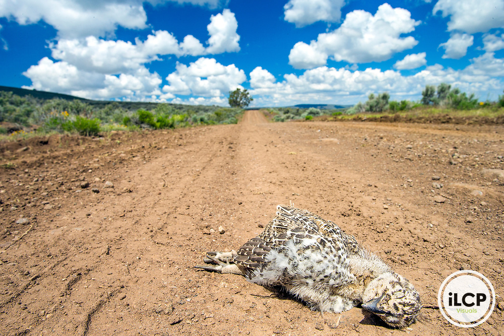 A 10-Day-Old greater sage-grouse chick killed by automobile during spring time in high desert area at Sheldon National Wildlife Refuge in Nevada.