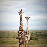 Giraffe pair, Maasai Mara