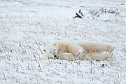 Polar bear Ursus maritimus lying on frozen tundra<br />