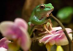 Giant tree frog (Litoria infrafrenata)