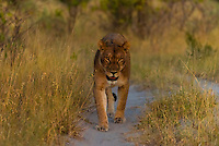 Female lions walking in the bush after sunset, Kwando Concession, Linyanti Marshes, Botswana.