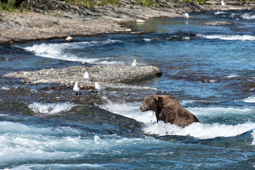 The alpha grizzly bear known as Chops fishes for chum salmon in the upper McNeil River falls at the McNeil River State Game Sanctuary on the Kenai Peninsula, Alaska. The remote site is accessed only with a special permit and is the world's largest seasonal population of brown bears.