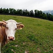 Austrian dairy cow in the mountains