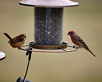 Marsh Wren and House Finch. Image taken with a Fuji X-T3 camera and 200 mm f/2 lens with 1.4x TC