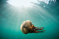 A monster jellyfish with incredibly long and menacing-looking tentacles glides through sunlit water off the coast of Sumba, Indonesia.  I saw this jellyfish float past the stern of our boat one morning and luckily had my gear ready and just jumped in without mask or fins.