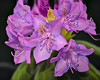Cluster of rhododendron blooms in a light box. Composite of 63 focus stacked images taken with a Nikon Df camera and 105 mm f/2.8 VR macro lens (ISO 100, 105 mm, f/4, 1/125 sec). Focus composite processed with Helicon Focus (Method C)