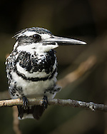 A pied kingfisher perches on a narrow branch above a small lake, Ranganathittu Bird Sanctuary, India