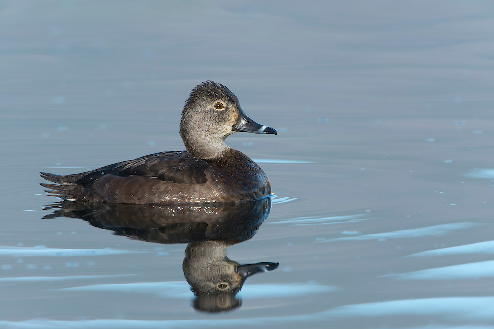 A portrait of a female Ring-necked Duck (Aythya collaris), Bitterroot Valley, Montana