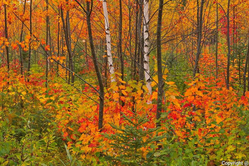 Acadian forest in autumn foliage. <br />New Canaan<br />New Brunswick<br />Canada