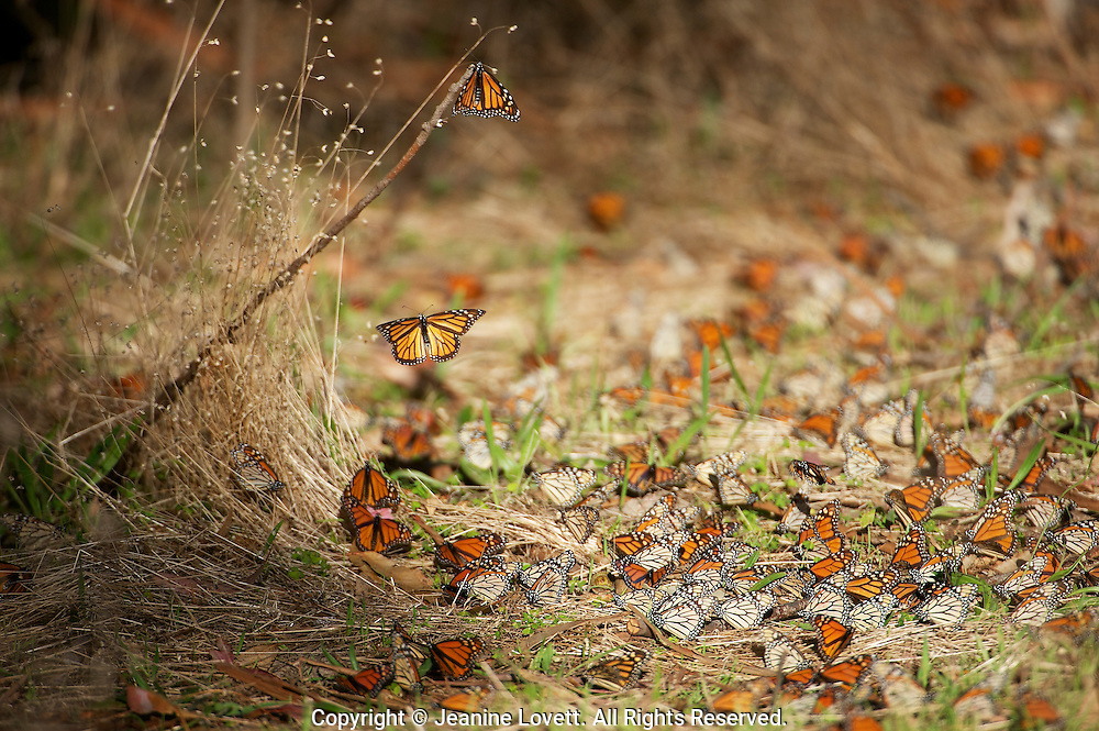 Monarch's sunning them selfs on the ground. The upper side of the wings is tawny-orange,  The underside is similar yellow-brown instead of tawny-orange and the white spots are larger