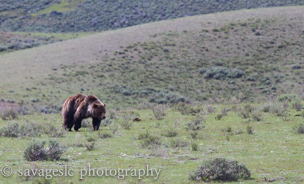 Grizzly boar on the move.