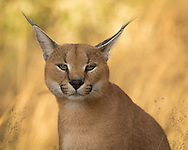 A caracal sits in the dappled shade of the afternoon sun, Naan Ku Se Wildlife Sanctuary, Namibia.