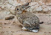 Wild rabbit at Paint Mines Interpretive Park, El Paso County, near Calhan, Colorado.