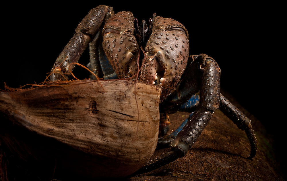 Coconut crab, prized for their fleshy tails, eating a coconut