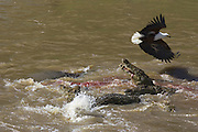 Nile Crocodile<br /> Crocodylus niloticus<br /> Hungry crocodiles feeding on zebra<br /> Maasai Mara Reserve, Kenya