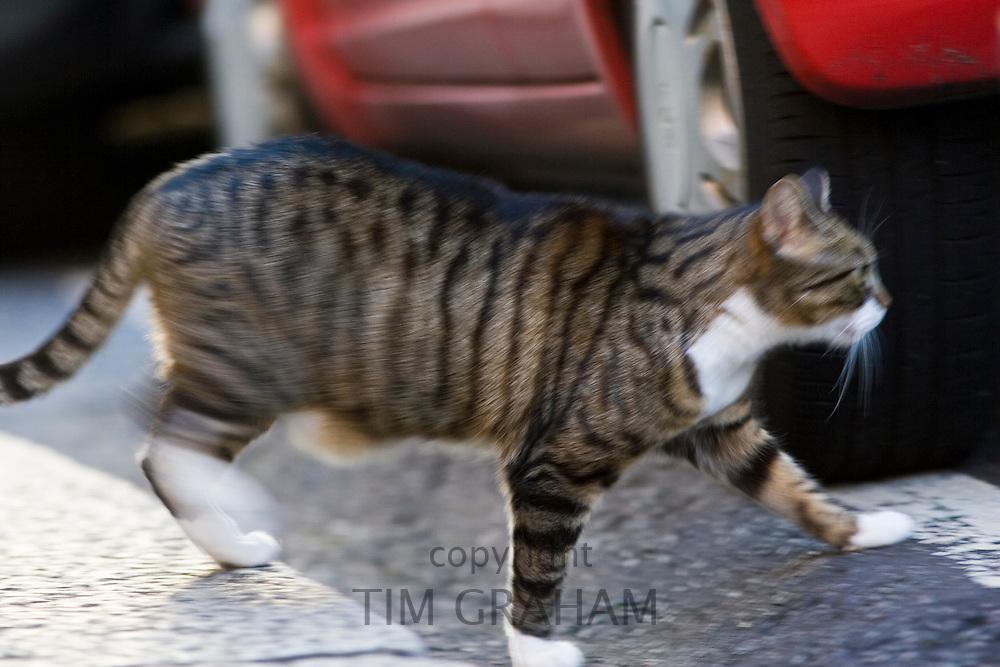 Tabby cat walks under parked cars, Oxfordshire, United Kingdom