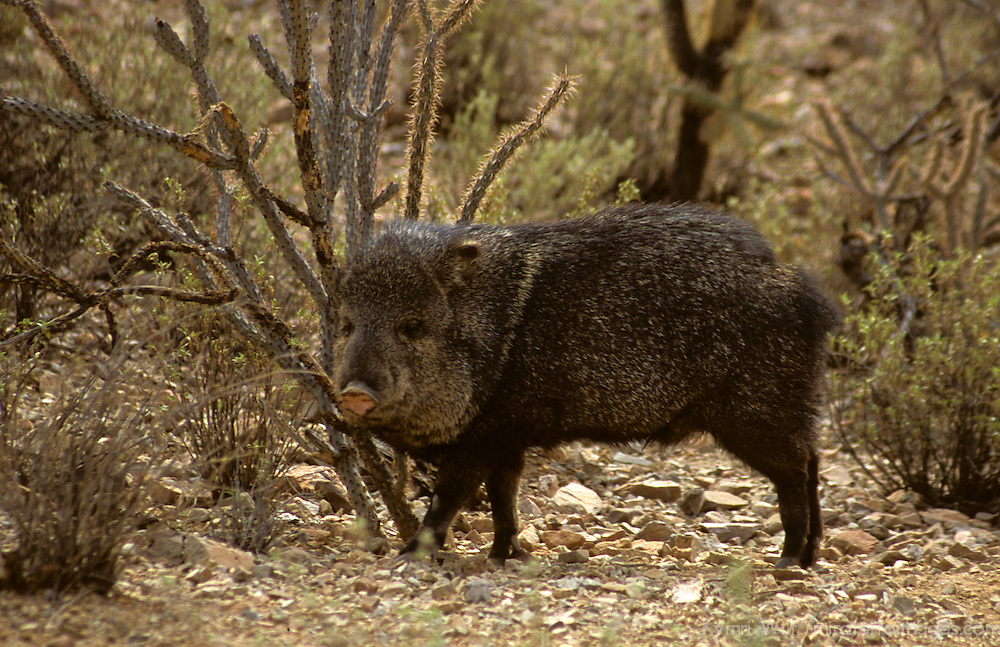 North America, Americas, USA, United States, Arizona. Collared Peccary at the Arizona-Sonora Desert Museum.