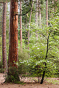 USA, Yosemite National Park (CA).Dogwood tree (Cornus nuttallii Audubon) alongside incense cedar tree (Calocedrus decurrens)