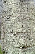 Araucaria araucana<br /> Monkey puzzle tree bark