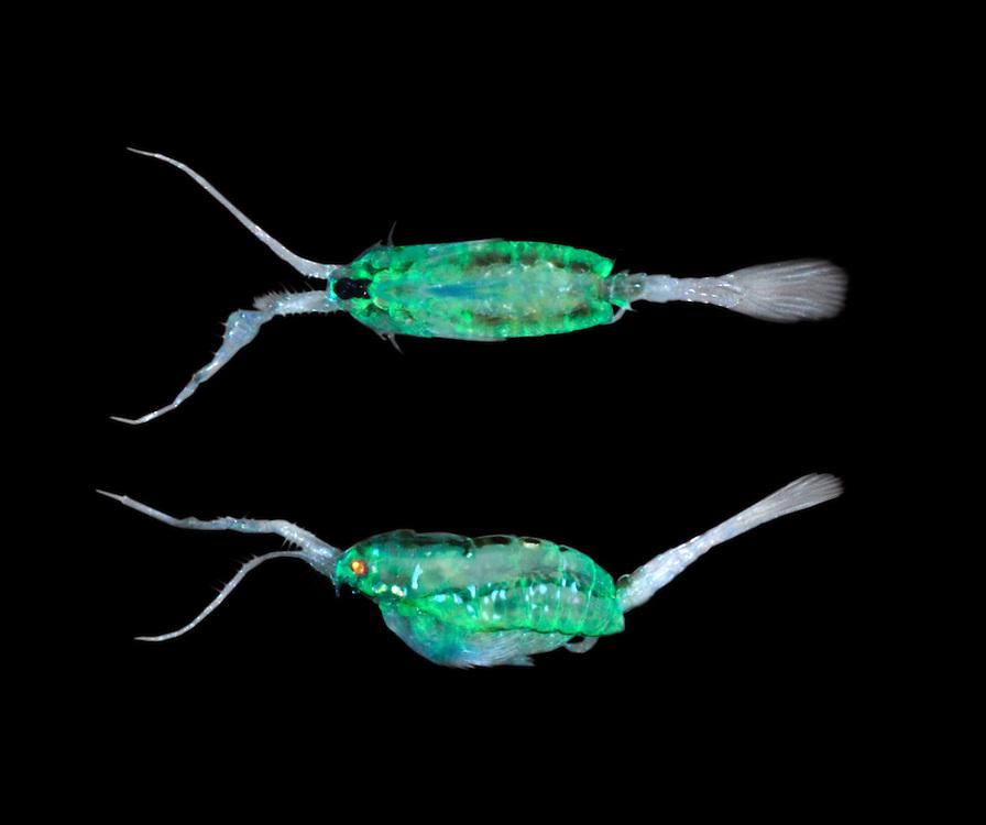 copepod<br /> anomalocera patersoni