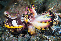 Flamboyant Cuttlefish showing its color display<br /> <br /> Shot in Indonesia