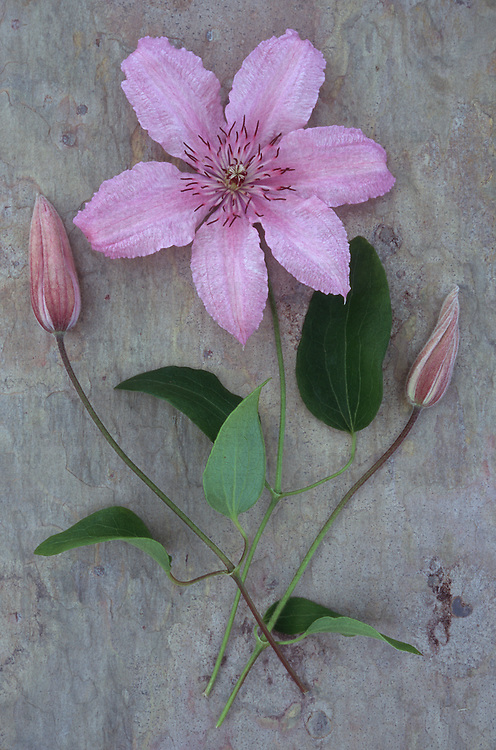 Pale pink and white flower with stalk of Clematis Hagley hybrid lying with two flowerbuds on marbled slate