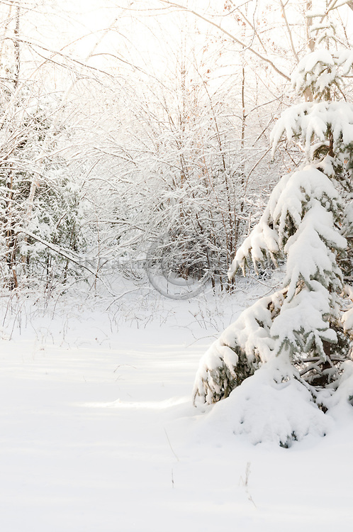 Ice covered forest with warm sunlight seeping through the snow covered trees
