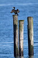 Double-crested Cormorant (Phalacrocarax auritus) on wooden piling in the ocean, Oyster Bay near Cambell River, Vancouver Island, British Columbia, CanadaDouble-crested Cormorant (Phalacrocarax auritus),     Photo: Peter Llewellyn