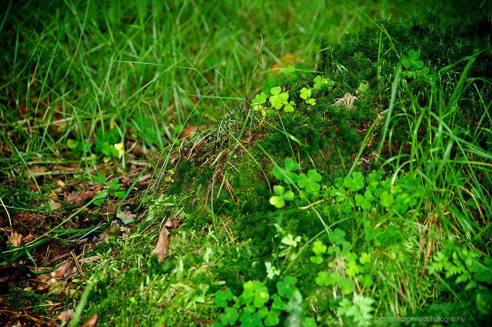 Shamrock found admid the forest floor, nestled among sheaves of grass