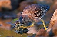Crouching down and ready to strike, a juvenile green heron watches the surface of the water for movement