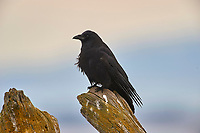 Northwestern Crow (Corvus caurinus), Parksville, British Columbia, Canada   Photo: Peter Llewellyn