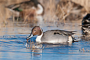 Northern Pintail, Anas acuta, male, Bosque del Apache NWR, New Mexico