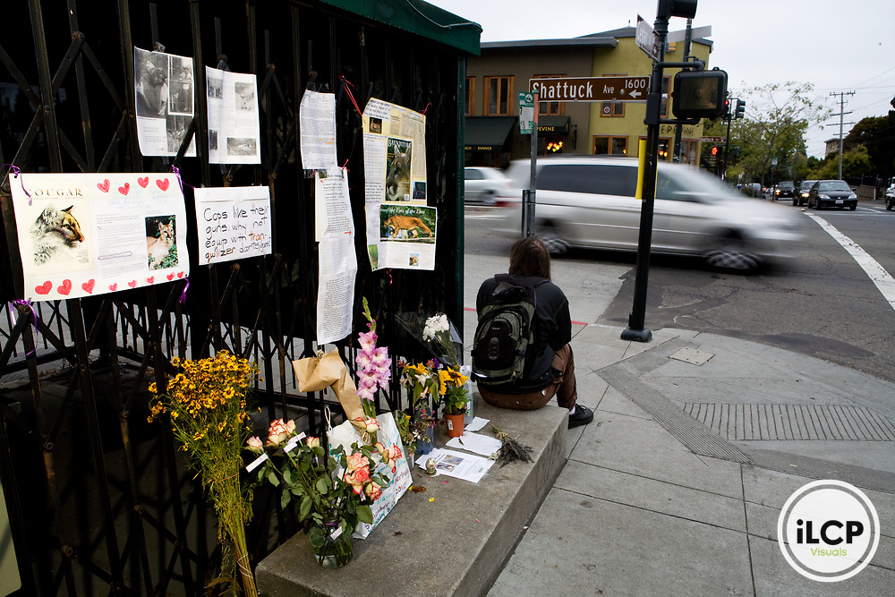 North American Cougar (Puma concolor couguar) memorial put up by locals after puma was shot near downtown, Berkeley, Bay Area, California