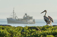 Small-pelagic purse sein trawler and Great White Pelican at dawn; Dassen Island; South Africa