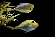 Juvenile Ocean Triggerfish (Canthidermis sufflamen) found in Sargasso Weed or Broad-toothed Gulfweed (Sargassum fluitans), Sargassum Community. Sargasso Sea, Bermuda | junger Fische