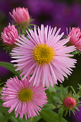 Aster novae-angliae 'Pink Parfait'