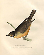 Tyrannula saya (Flycatcher) color plate of North American birds from Fauna boreali-americana; or, The zoology of the northern parts of British America, containing descriptions of the objects of natural history collected on the late northern land expeditions under command of Capt. Sir John Franklin by Richardson, John, Sir, 1787-1865 Published 1829