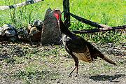 Hen Wild Turkey - Meleagris gallopava in the sun