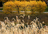 Dried grass, yellow leaves display their fall colours, Wascana Creek Regina Saskatchewan