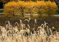 Dried grass, yellow leaves display their fall colours, Wascana Creek Regina Saskatchewan