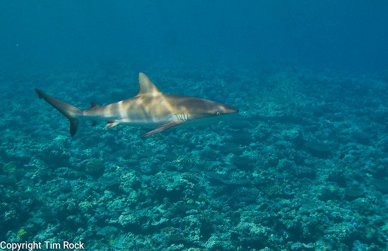 Yap, Micronesia sharks and reef scenes at Manta Fest 2011 by Tim Rock