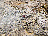 Ladybug Iceland