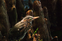 A juvenile green heron blends in perfectly against the cypress knees at the edge of a Florida lake.
