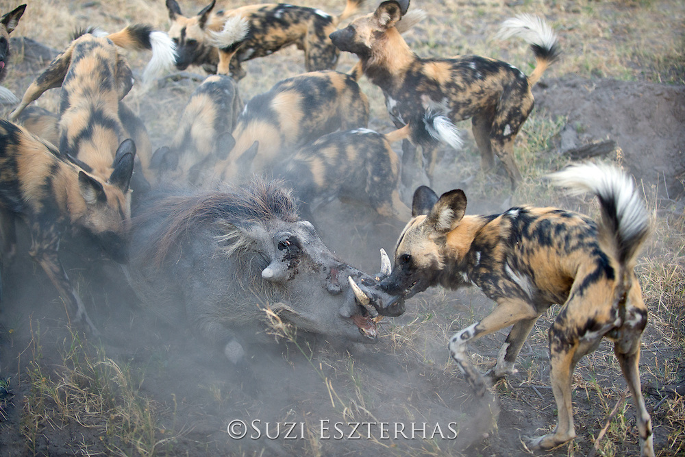 African Wild Dog<br /> Lycaon pictus<br /> Attacking warthog<br /> Northern Botswana, Africa