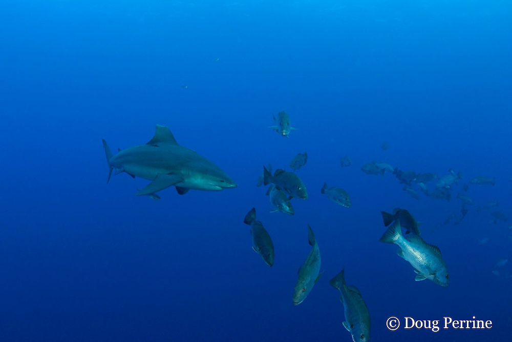 bull shark, Carcharhinus leucas, charges spawning aggregation of cubera snappers, Lutjanus cyanopterus, Gladden Spit & Silk Cayes Marine Reserve, off Placencia,  Belize, Central America ( Caribbean Sea )