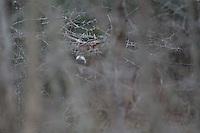 Mature whitetail buck hiding in the brush