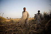 Contract workers collect sugar cane for processing at the Jamal Din Wali (JDW) Sugar Mill. Contract workers typically exchange votes in return for employment  on the massive sugar cane plantations or are leased portions of land where they can cultivate their own crops for processing at the JDW Sugar Mills...Contract workers typically earn PRS100 per day collecting sugar cane.   They will never earn enough money to be able to afford to buy their own land and thus are consigned to a life of poverty in the region. An acre of land will typically yield a return of PRS15000 per annum..