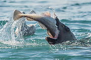 A Steller sea lion eats a freshly caught fish that it caught along the coast of the Inian islands of Alaska.