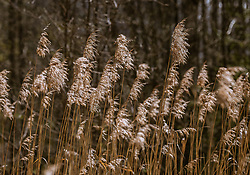 THEMENBILD - trockenes Schilfgras, aufgenommen am 19. April 2019, Kaprun, Österreich // dry reed grass on 2019/04/19, Kaprun, Austria. EXPA Pictures © 2019, PhotoCredit: EXPA/ Stefanie Oberhauser