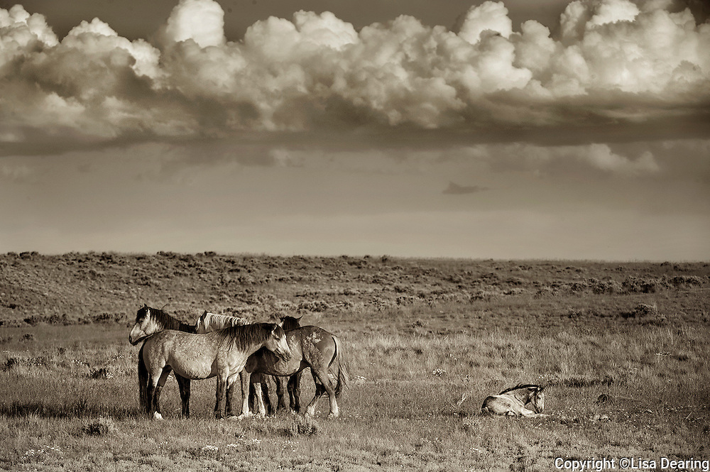 Family Band of Wild Mustangs, Wyoming High Desert